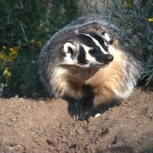 Giant badger 'terrorising Kent girls' school'