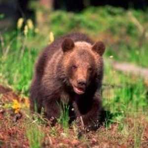Bosnian shepherd 'kills brown bear with bare hands'