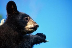 Hunter given fright of his life by tree-climbing bear