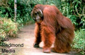 Jealous boyfriend believes orangutan is trying to steal girlfriend