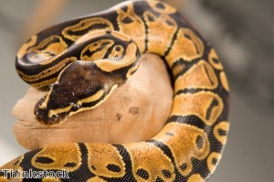 Python lured out of speaker by dead mouse