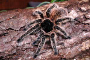 Asbestos-infected tarantula 'on the run in Cardiff'