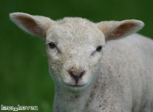 Woman finds severed lamb's head in her shopping