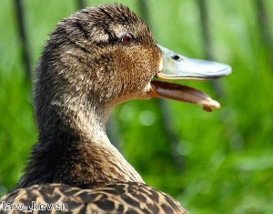 Herd of ducks take to Chinese motorway