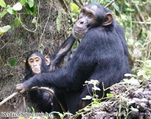 Kanzi the chimp cooks his own dinner