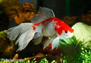 Goldfish found two years after house fire