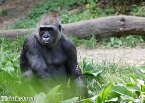 Sarcastic gorilla gives wry grin